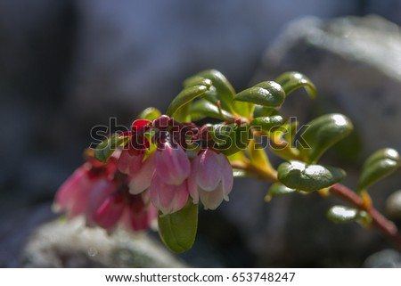 lingberry flowers and berries in Ural Mountains #653748247