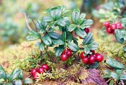 Lingon berries growing in the wild