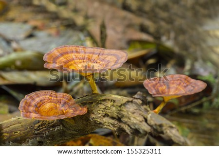 lingzhi mushroom at nature habitat