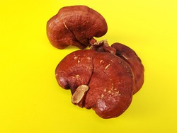 Lingzhi mushroom or Reishi mushroom Ganoderma lucidum (Curtis) P. Karst , Ganoderma lucidum on yellow ground