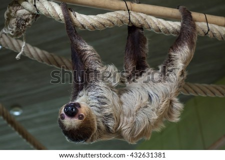 Linnaeus's two-toed sloth (Choloepus didactylus), also known as the southern two-toed sloth. Wild life animal.