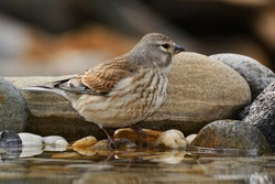 Linnet, Carduelis cannabina, female stands on the stones by the bird's waterhole. Czechia. Europe.