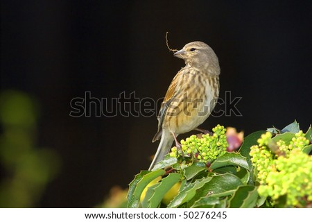 linnet female sitting on branch