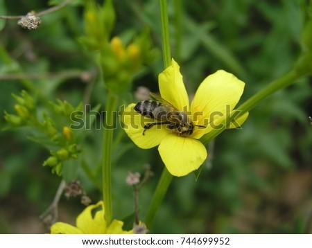 Linum maritimum yellow flowers growing in europe honey and linum maritimum yellow flowers growing in europe honey and medicinal plants golden flax or mightylinksfo