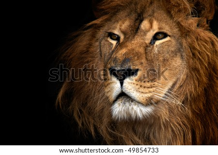 stock photo lion 49854733 - Каталог — Фотообои «Животные»
