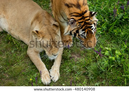 lion and a tigress, a top view, #480140908