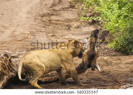 Lion and his prey Giraffe  #560335147