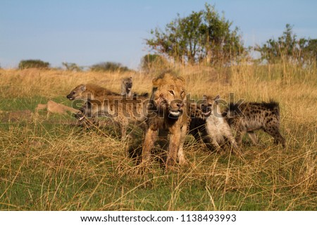 Lion and Hyenas battle over a warthog kill.