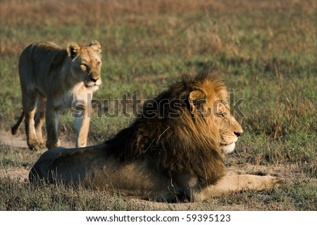 Lion and lioness. A lying lion and approaching to him on a background a lioness. - stock photo