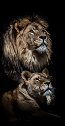Lion and lioness against black background with full manes and sharp teeth