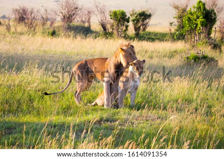 Lion and lioness copulate in the savannah. Kenya, Masai Mara Park. Jeep - safari  in spring in the African savannah. Predatory mammal. Concept of exotic, extreme tourism and photo tourism
