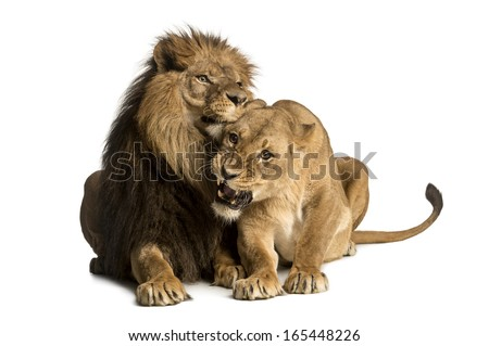 Lion and lioness cuddling, lying, Panthera leo, isolated on white