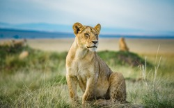 Lion and Lioness in Masai Mara Kenya