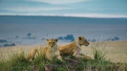 Lion and Lioness in Masai Mara Kenya