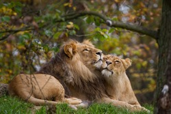 lion and lioness lying in the grass and cuddle