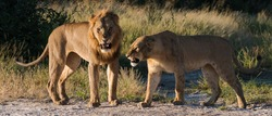 Lion and lioness snarling at one another