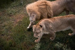 Lion and lioness walk together. King of beasts. A pair of lions. A family. Lions in nature. Wild animals. Predators.