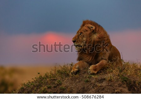 Lion at sunset in Masai Mara, Kenya