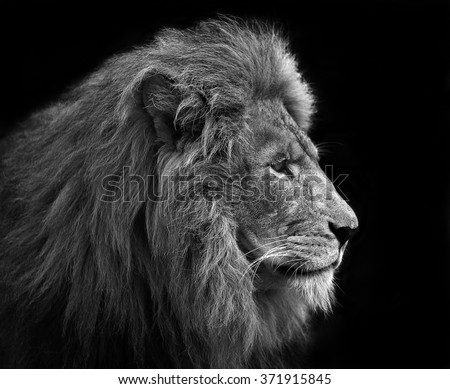 Lion, Black and white head shot of an adult Lion .