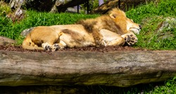 Lion catching a nap. Auckland Zoo. Auckland, New Zealand