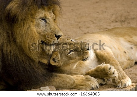 Lion Couple - stock photo