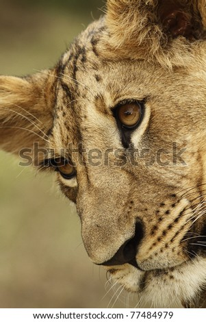 Lion cub closeup portrait