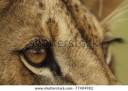 Lion cub closeup portrait