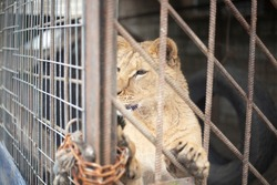 Lion cub in a cage. The lion is locked in a valier. The animal is in captivity. Poor lion keeping. Steel bars protect against wild animals.