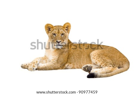 Lion cub - isolated on white background