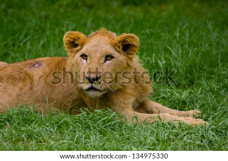 Lion cub lying alone in the grass