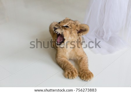 lion cub lying on the floor and roaring #756273883