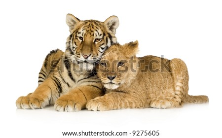 Lion Cub (5 months) and tiger cub (5 months) in front of a white background
