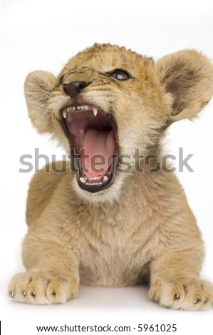 Lion Cub (3 months) in front of a white background.