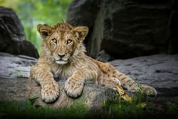 Lion cub (Panthera leo leo) lying on a rock and looking at the camera