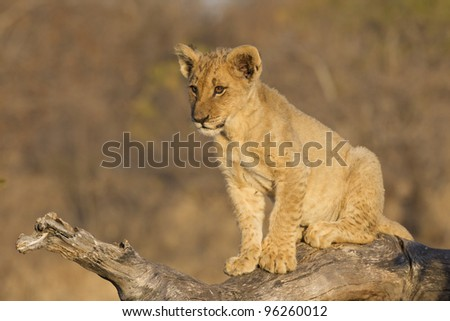 Lion cub (Panthera leo) on dead log, South Africa