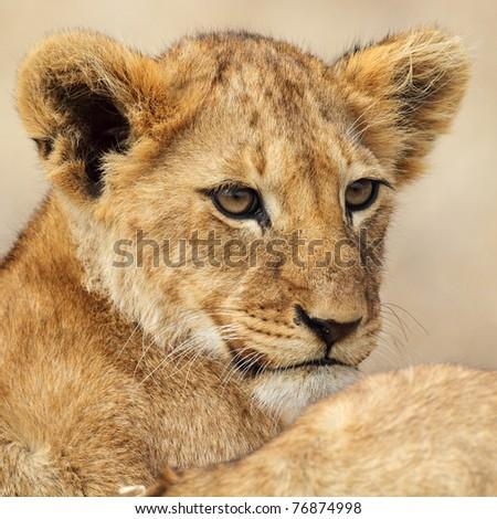 Lion cub portrait, Serengeti National Park, Tanzania, East Africa