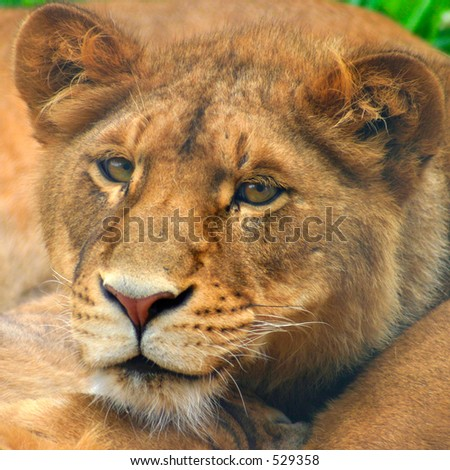 Lion Cub, portrait, staring into camera