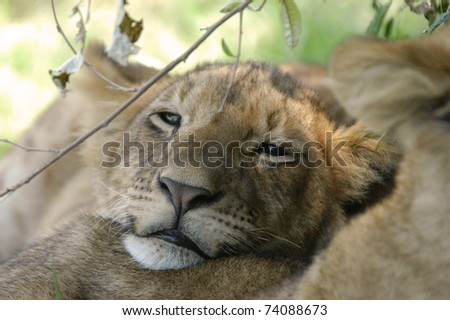 Lion cub resting in afternoon