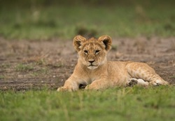 Lion cub resting on green grass at Masai Mara, Kenya