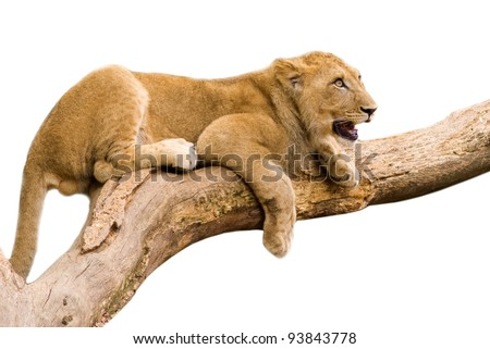Lion cub sitting on a branch- isolated on white background