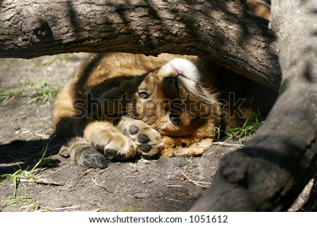 Lion Cub Sleeping under Log