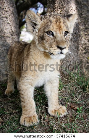 Lion Cub standing in the wild