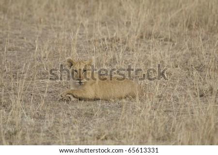 Lion cub walks across the Masai Mara - Kenya