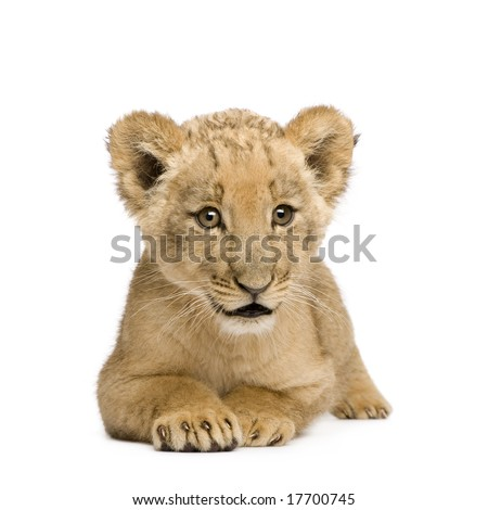 Lion Cub (8 weeks) in front of a white background - stock photo