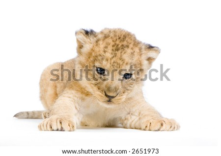 Lion Cub  (3 weeks) lying down in front of a white background. All my pictures are taken in a photo studio.