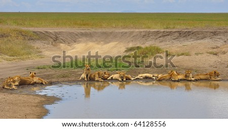 Lion cubs by a pond. Serengeti National Park, Tanzania