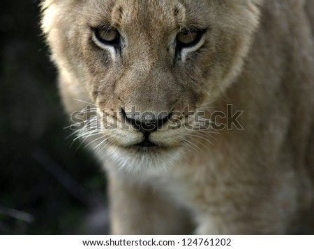 Lion cubs face from south africa
