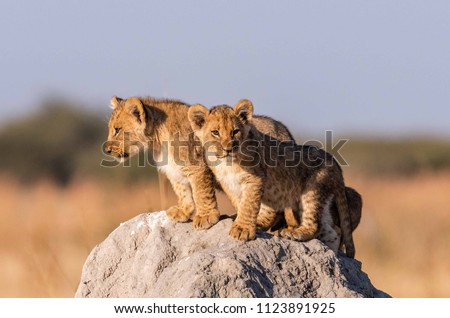 Lion Cubs in Botswana #1123891925