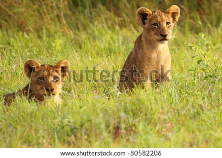 Lion cubs in short green grass - stock photo
