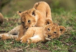 Lion cubs playing in the grasses, Masai Mara